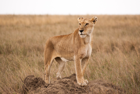 Leeuwin op termietenheuvel in de Serengeti