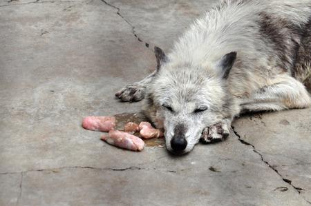 overeat: wolf overeaten and sleeps