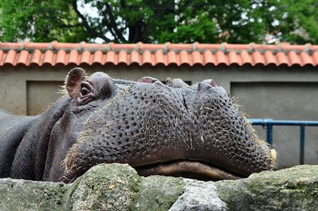 glance: funny glance of the hippopotamus Stock Photo