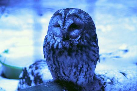 pecker: owl