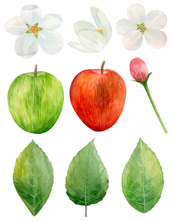 Watercolor red and green apples clip art. Garden tree flowers. Fruit isolated Imagens