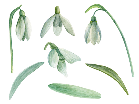 Snowdrop clip art. Spring flowers watercolor. Hand painted floral isolated Imagens