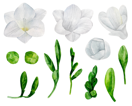 White freesia flowers clipart. Watercolor wedding floral Imagens
