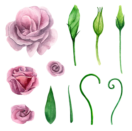 Watercolor eustoma. Purple and pink flowers clipart. Floral isolated