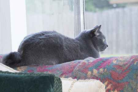 russian blue: Snubbed tail Russian Blue