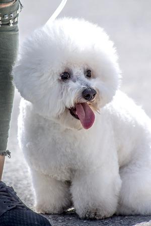 Dog Maltese Bolognese