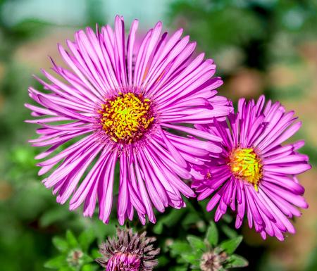 The flower of Malva in nature