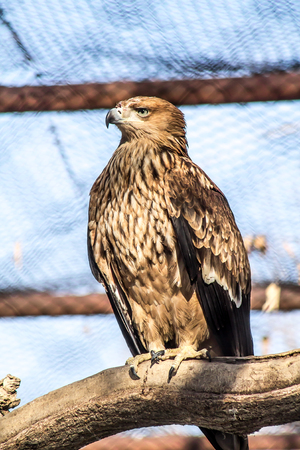 Bird of prey large