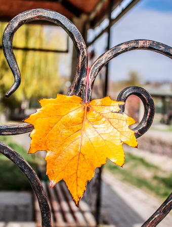 Yellow leaves on a metal forged fence