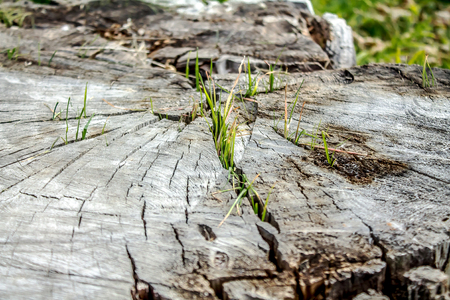 Green grass on dry stumps