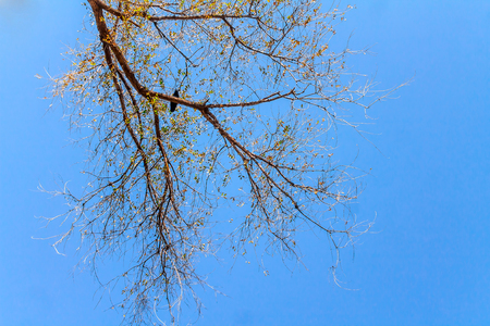 Tree branches against the blue sky for design