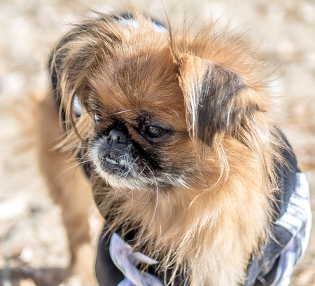 Pekingese dog on the playground