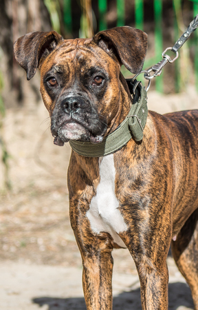 Dog of brindle color - dog boxer of brindle color Stock Photo