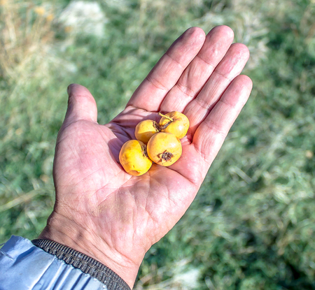 Fruits of hawthorn in hand