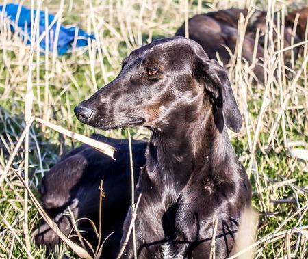Kazakh Hound Dog in the Nature Stock Photo