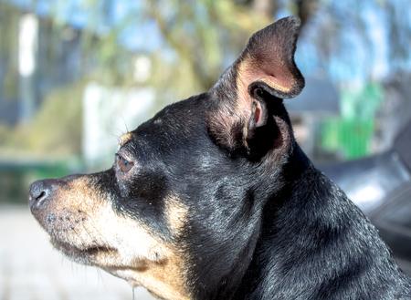 Dog  toy terrier