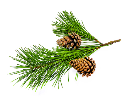 A branch of a coniferous tree and a cone on a white background Stock Photo