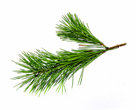 A branch of a coniferous tree and a cone on a white background Foto de archivo