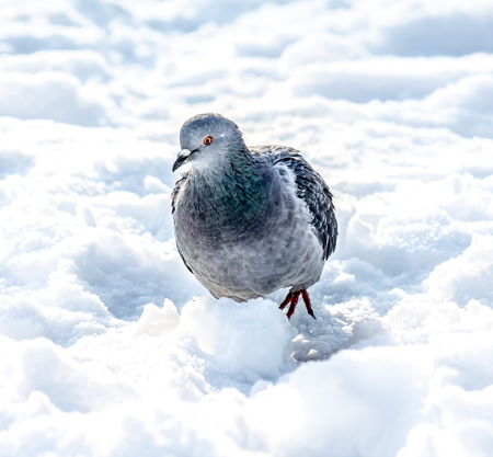 Pigeons on snow in winter