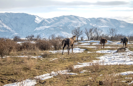 Horses in the foothills of Alatau in winter -  Przewalskis horses in the foothills in winter