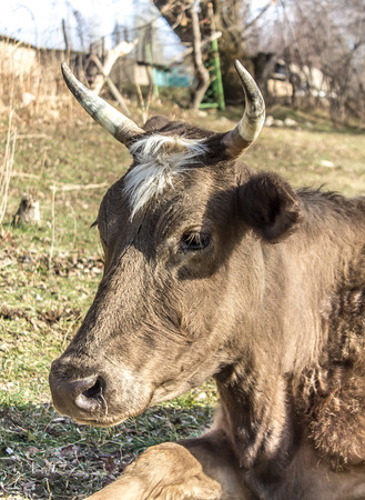 Cow With big horns in nature Stock Photo
