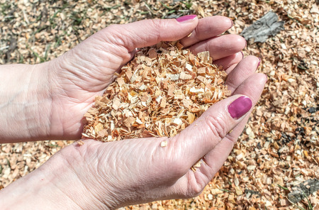 Wooden sawdust in the female hand Stockfoto