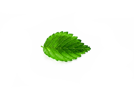 Beautiful carved leaves of a plant in a white bag against a white background -  elm-tree