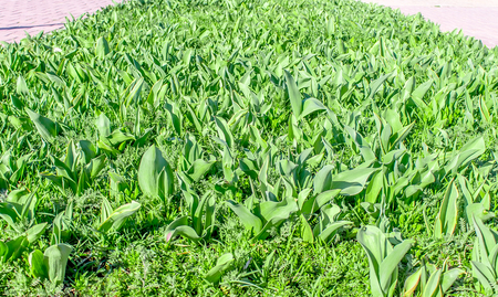 Shoots of green tulips on a flowerbed in the park Фото со стока
