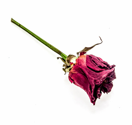 Withered flower of a rose on a white background