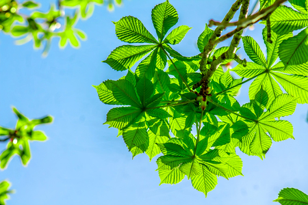 Leaves of a chestnut tree against a blue sky
