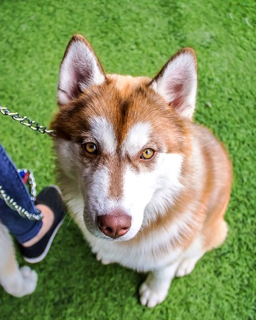 Dog Siberian laika