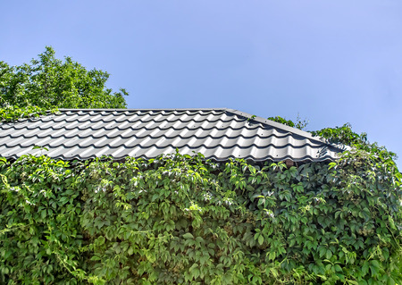 The roof of the house overgrown with wild grapes Stok Fotoğraf