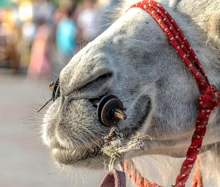 White Camel close-up on holiday Stock Photo