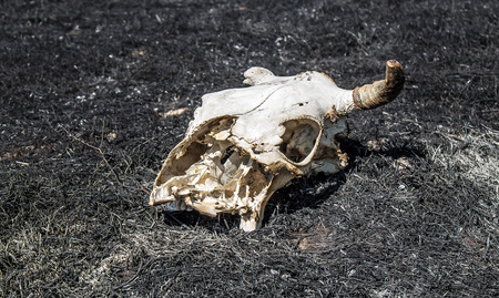 The skull of a cow on a burned earth