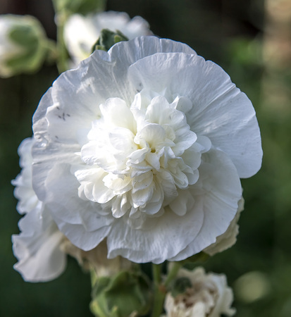 White terry mallow flowers
