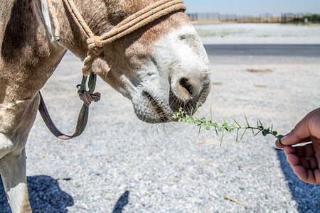 Donkey chews a prickly plant close-up