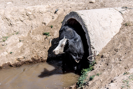 Cows in the water at the watering hole