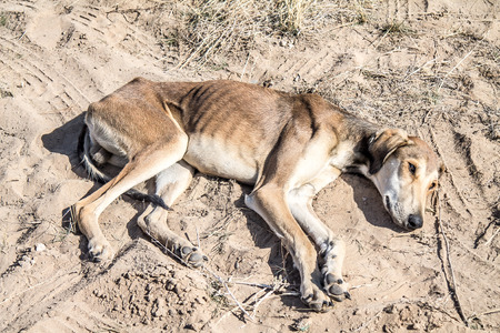 Kazakh hunting dog starving and lying on the ground Stock Photo