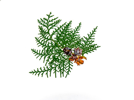 Sprig of thuja plant with cones isolated on white background Banco de Imagens