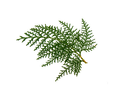 Thuja tree twig isolated on white background Zdjęcie Seryjne