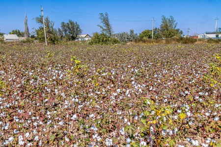 Raw cotton in a cotton field
