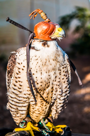 Bird of prey in a cap on the head for hunting Stock Photo