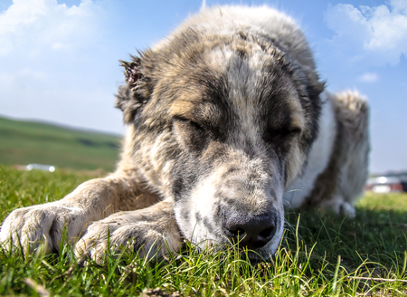 Asian Shepherd Dog on green grass