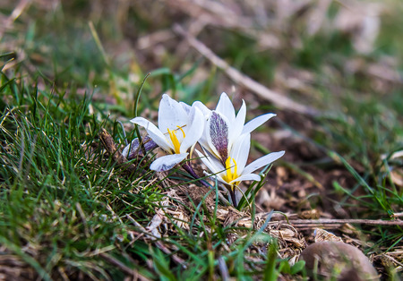 The first spring flowers are snowdrops in nature.