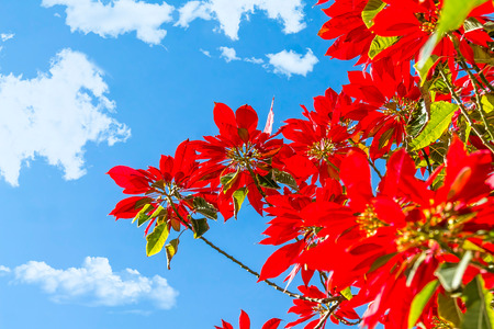 Plants with red poinsettia leaves against the sky Stock fotó