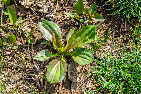 Plante de plantain dans la nature