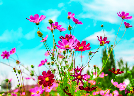 Bright flowers of multi-colored daisies against the sky