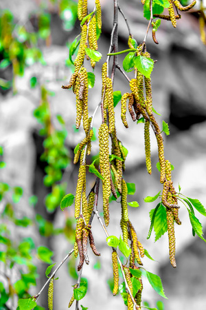 Young birch earrings buds in nature