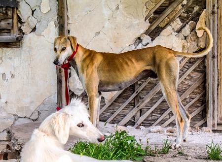 Dog of the Kazakh Hunting Hound breed. Tazy Stok Fotoğraf