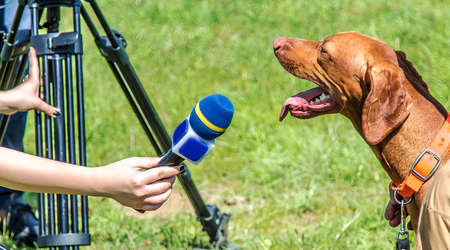 Hound Hunting Dog. Hungarian Vyzhla.The dog gives an interview in the microphone Stock fotó
